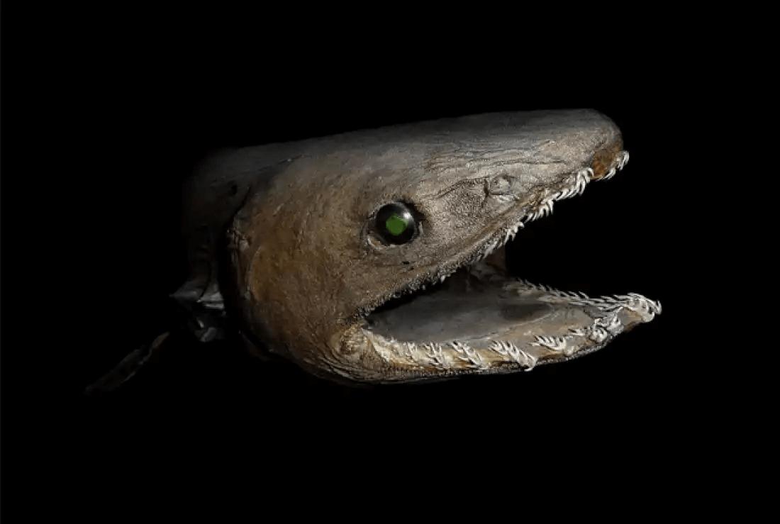 深海魚ラブカ