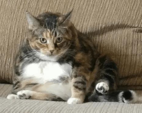 お腹が邪魔そうな猫