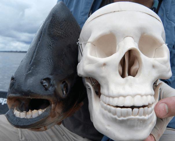 パクー-魚