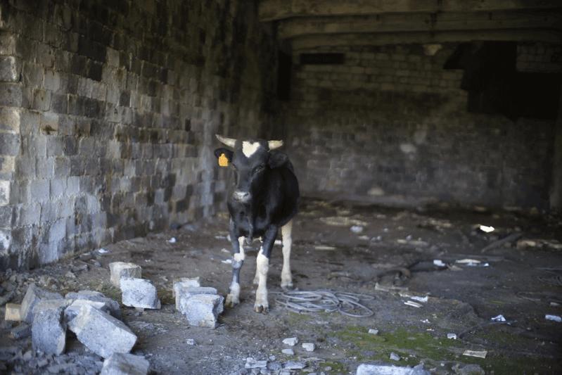 廃墟で見つけた牛