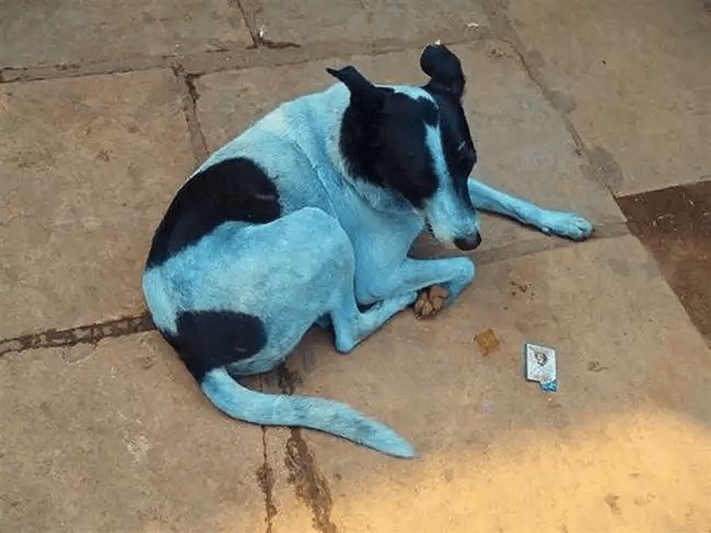青色に変色した犬