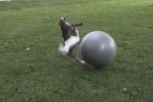 赤ちゃんヤギ-バランスボール