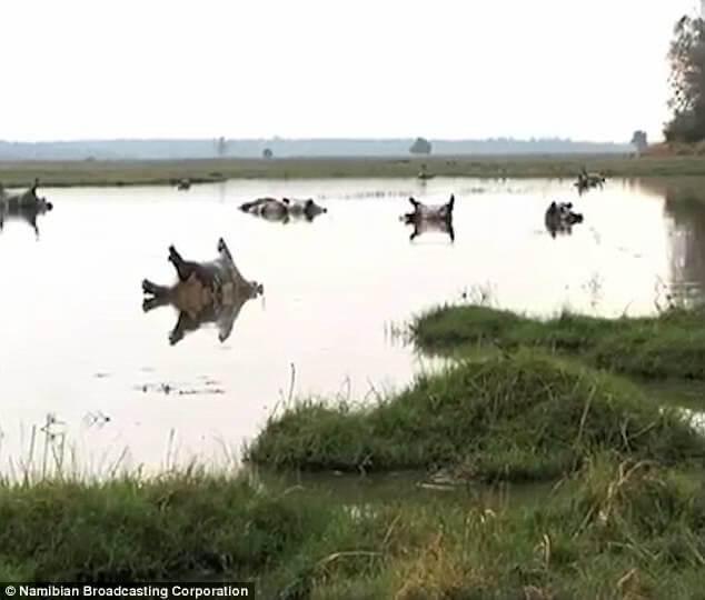 炭疽菌によるカバの大量死