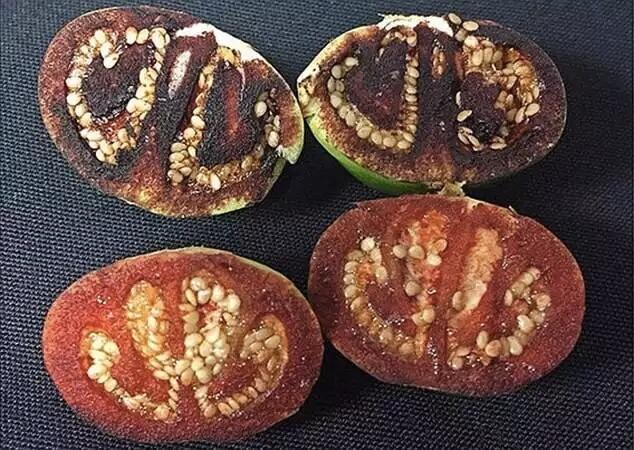 Solanum ossicruentum