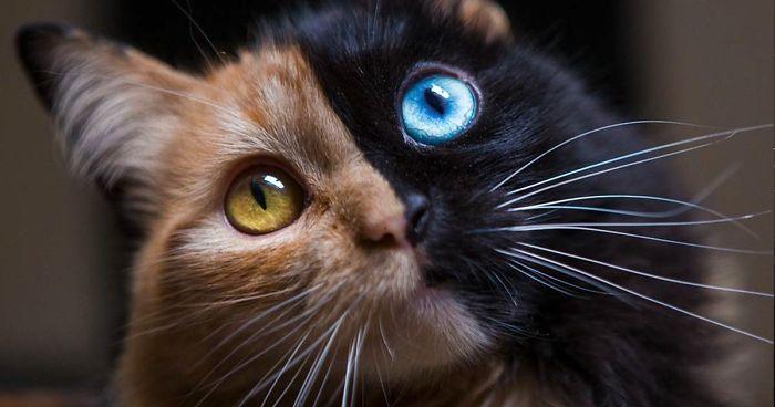 オッドアイとハーフサイダーの猫