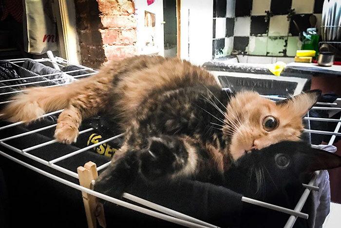 ハーフサイダーとオッドアイの猫