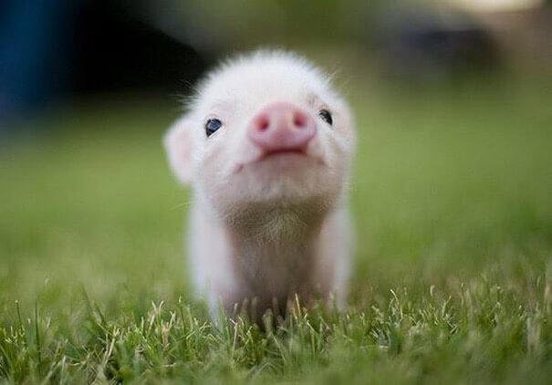 赤ちゃん豚