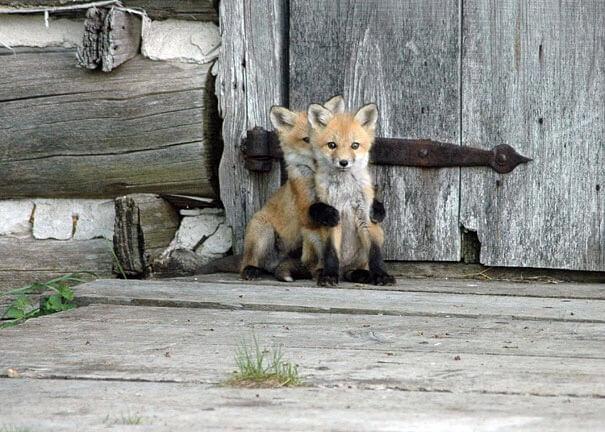 赤ちゃんの狐