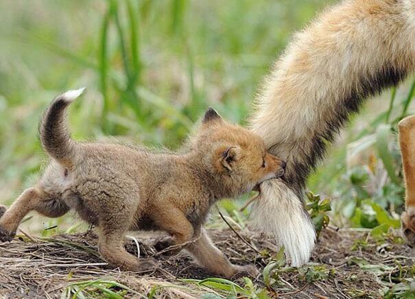 赤ちゃん狐