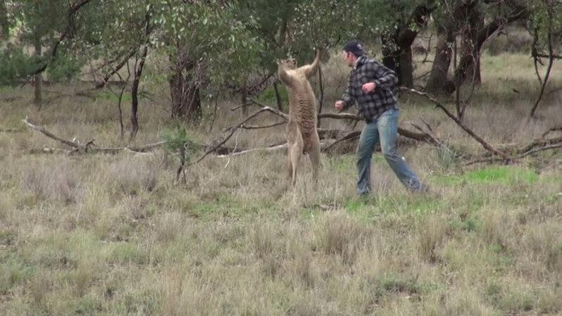 カンガルーをパンチする映像