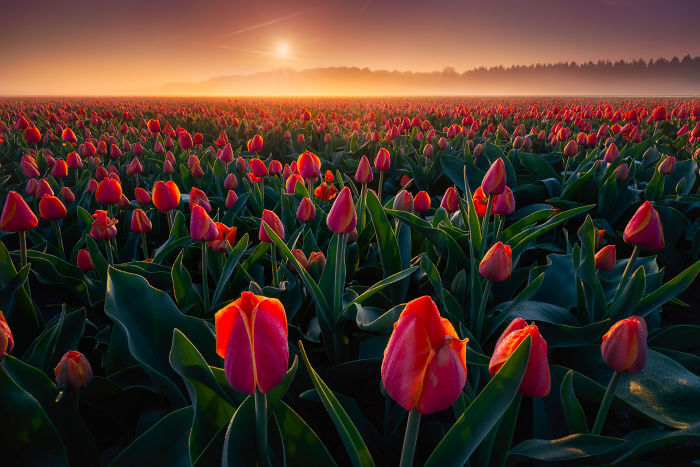 オランダの公園に咲くチューリップ畑