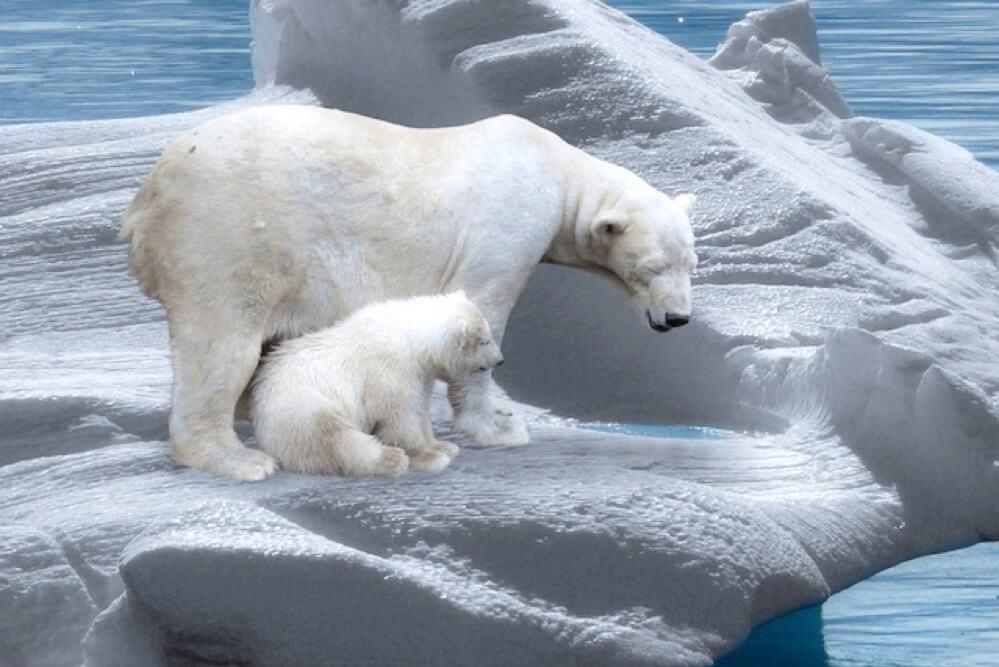 北極の白熊