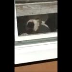犬「ずっとお前を見てるぞ〜。」家の中にいる番犬の追尾力が凄くて防犯率100%