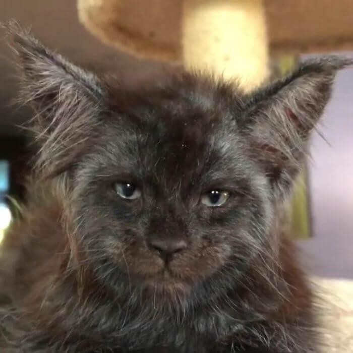 人間の顔に見える猫