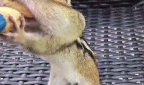 ピーナッツを食べるシマリスの頬袋