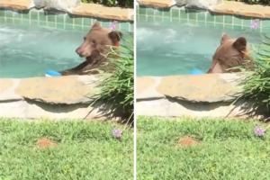 酔っ払った野生の熊