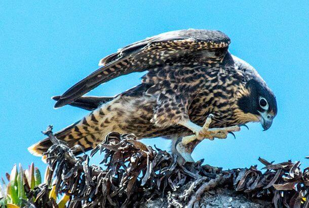 世界で最も早い鳥