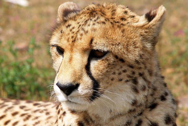 世界で最も早い陸上動物