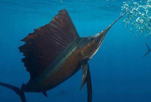 世界で最も早い魚