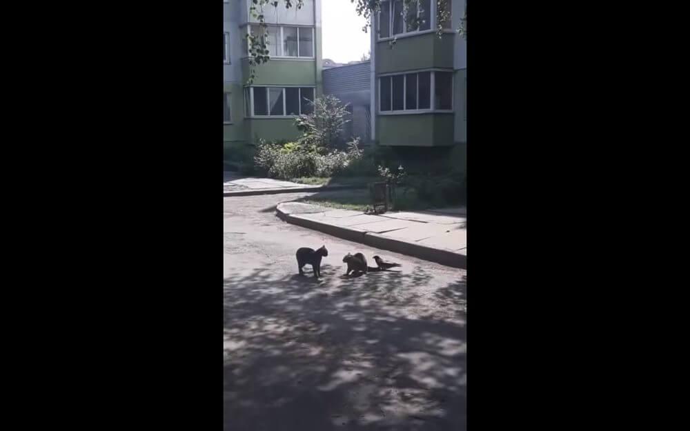 猫の喧嘩を止めようとする烏