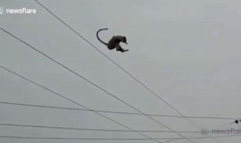 お猿、30メートルから見事な大ジャンプを見せつける。