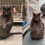 「お腹空いたぁ」ということを直立で伝えるロシアンブルー猫、ブルーノちゃん。