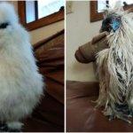 その体毛はもっふもふ。烏骨鶏をペットとして飼った場合の日常的風景【画像】