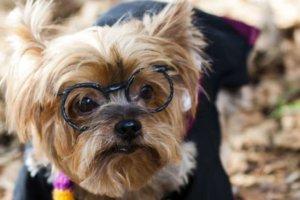 メガネをかけた犬