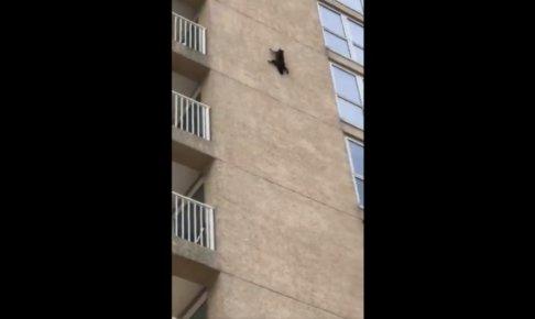 壁を登るアライグマ