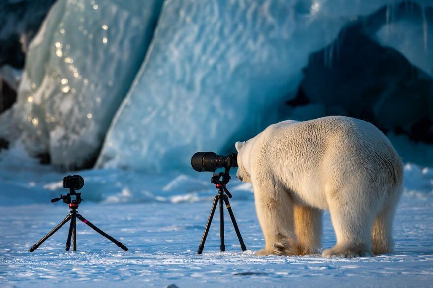 写真を撮る白熊