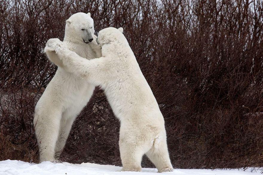 喧嘩する白熊