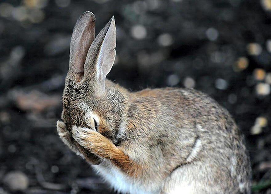 恥ずかしがるウサギ