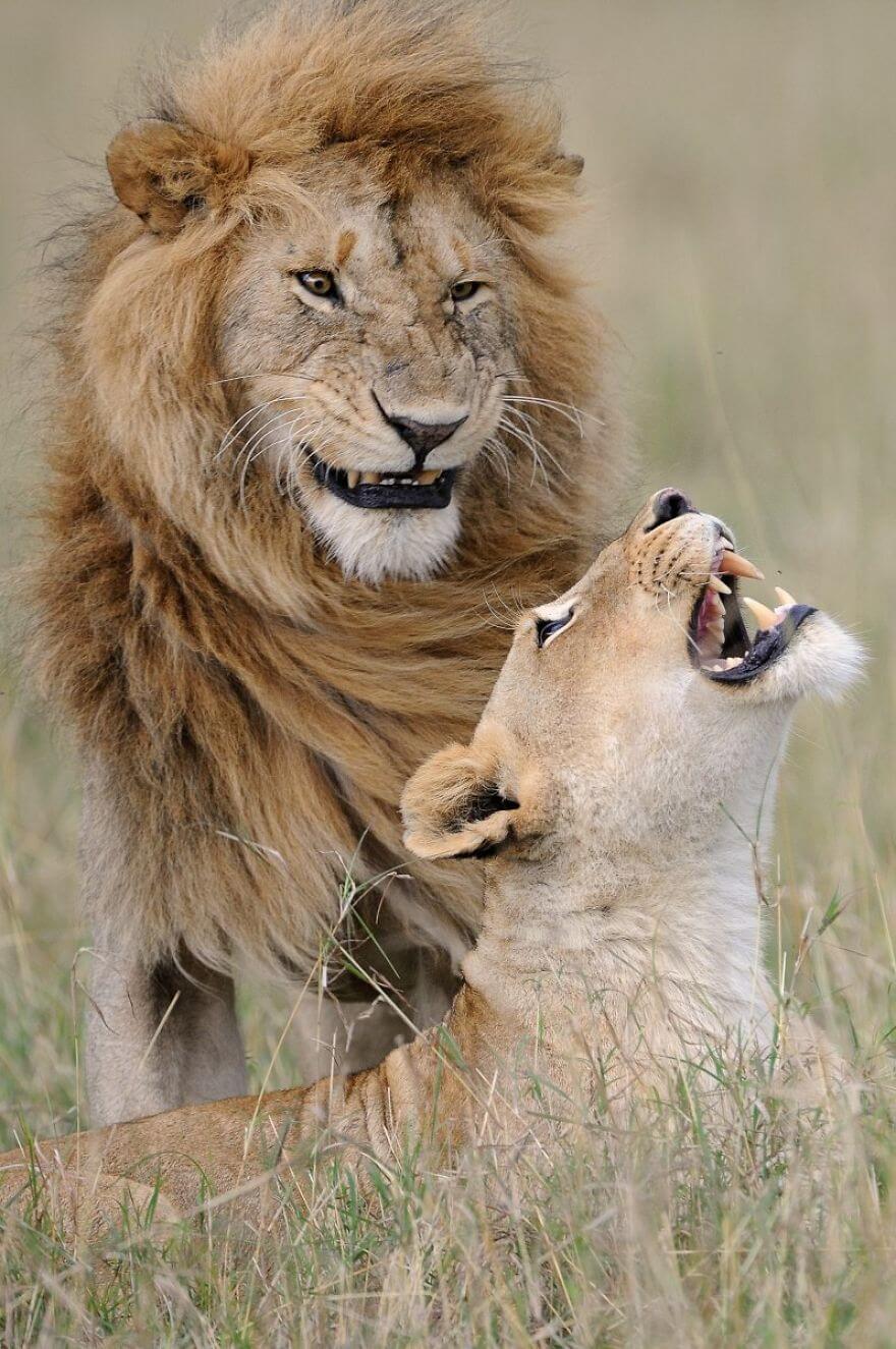 かっこいいライオン