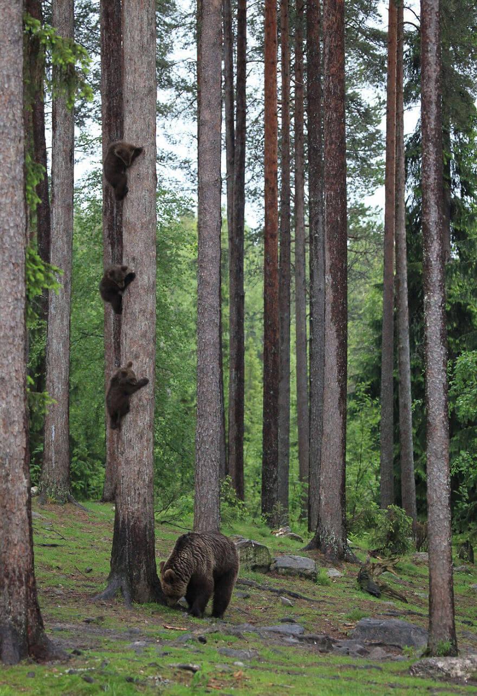 熊の木登り