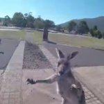 【動画】何だあのクソカンガルー!!パラグライダーの着地地点でいきなりパンチしてくるカンガルーが撮影される。