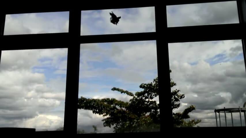 建物・壁に当たって倒れる鳥