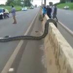 【デカすぎ注意】おい、皆止まれ!高速道路を横断しようとする3m級の大蛇を発見→とりあえず皆で撮影することに(ブラジル)
