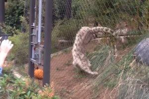 ユキヒョウのジャンプ
