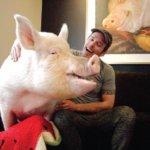 あれ…やたらデカくなってない?子豚を買ったはずが、2年でガッツリ商業用の巨大豚に成長してしまったけど、あまりに可愛いので愛してしまった物語